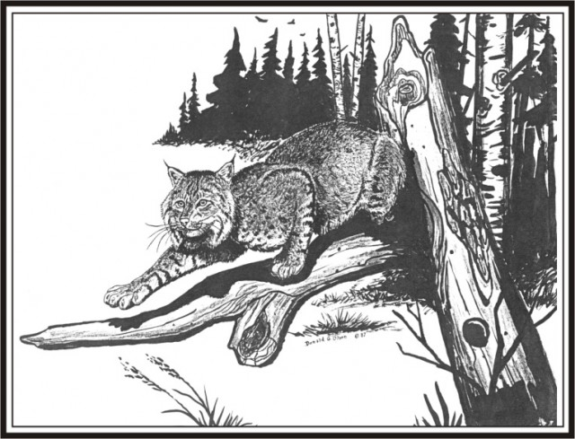 Deer Hunting Drawings Hunting Pencil Drawings Bobcat